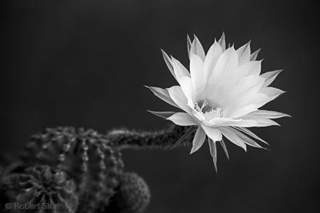 photographie noir et blanc fleur de cactus photo robert siret. Black Bedroom Furniture Sets. Home Design Ideas
